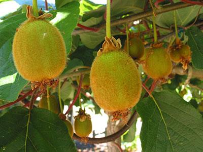 Azienda consulenza e progettazione di impianti per la for Piante da frutto kiwi
